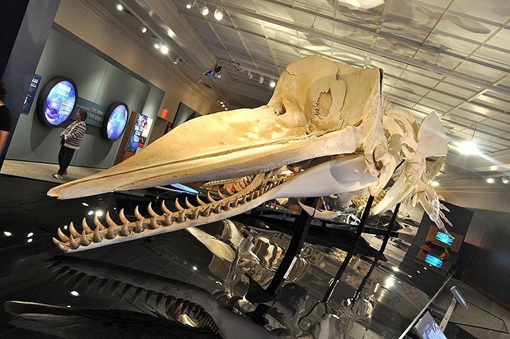 Pictured above is the skeleton of a toothed whale, a subgroup of whales that includes dolphins. The exhibit, Whales   Tohorā, opened at the Carnegie Museum of Natural History on Saturday and features information about the dynamic lives of whales.