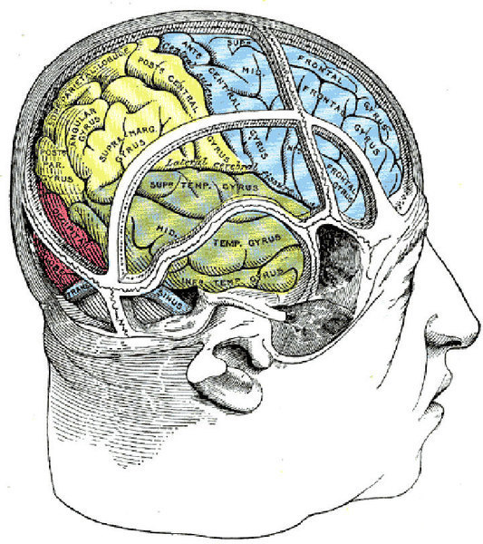 Brain damage to specific parts of the brain involved with the senses can cause agnosia. Agnosia is a mental disorder characetrized by the inability to recognize certain sensory inputs, including objects, sounds, and smells. (credit: Courtesy of Wikimedia Commons)
