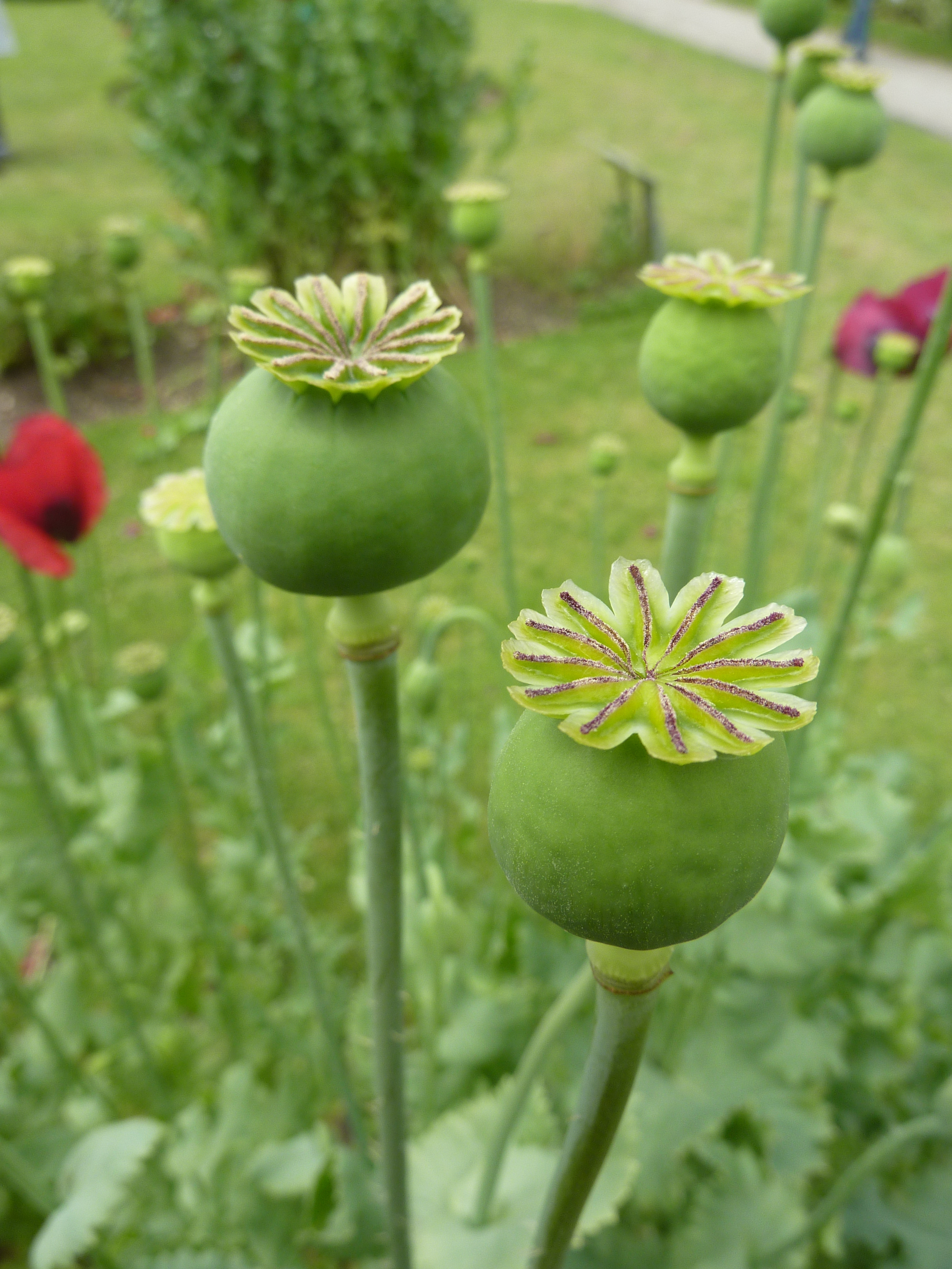 The large, round seed pod of the opium poppy plant can be harvested for different uses. Chemicals extracted from the plant are used in the production of painkilling medications. (credit: Courtesy of Wikimedia Commons)