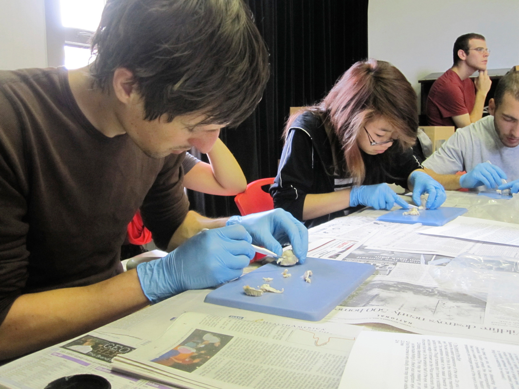 Steve Gurysh (left) and Angelina Sung (right) dissect sheep eyes last Thursday during their digital photography class. The dissection aims to inspire students to create art relating to the concept of perception. (credit: Daniel Tkacik/SciTech Editor)