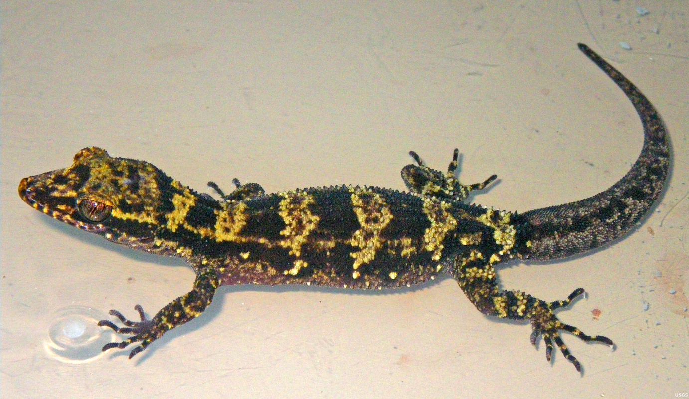The Nactus kunan was named for its distinctive striped color pattern. (credit: Courtesy of the US Geological Survey)