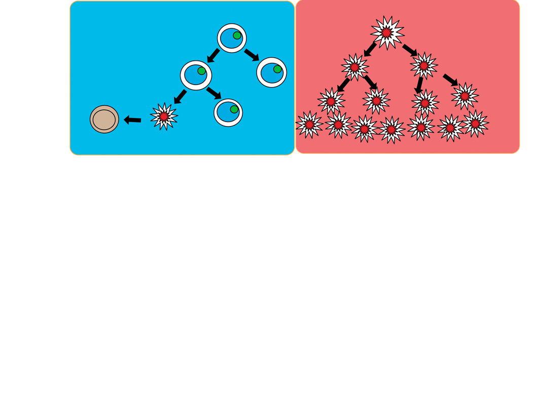 The two images represent healthy (left) and cancerous (right) cell division. In healthy cell division, a healthy cell will terminate a damaged cell through a process called apoptosis, or programmed cell death. A cancerous cell may have a mutation in the gene that regulates apoptosis. Without it, damaged cells will continue to divide and may lead to the growth of a cancerous tumor. (credit: Michael Setzer/Acting SciTech Editor)