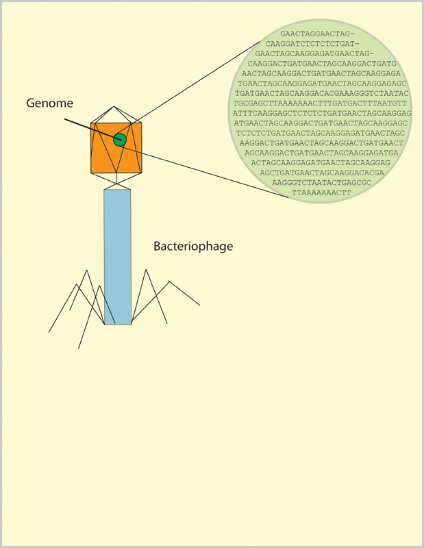Students in the phage genomics course have the opportunity to sequence the genomes of a bacteriophage, shown above. The phage's DNA is made up of a long string of base pairs, represented as A,T,C, and G. (credit: Michael Setzer/SciTech Editor)