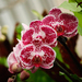 """Phipps Conservatory and Botanical Gardens' latest display is titled """"Orchid and Tropical Bonsai."""""""