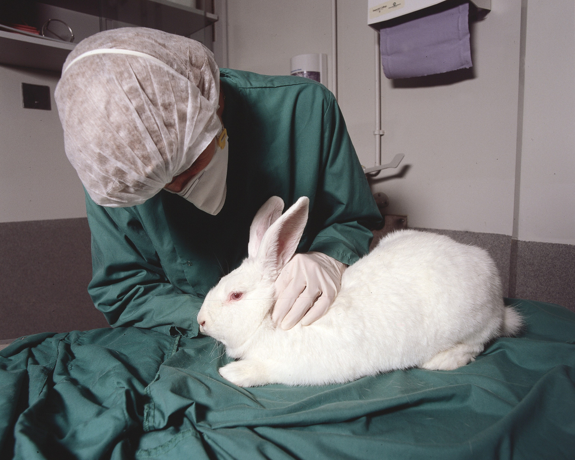 A rabbit undergoes animal testing. Animals are often treated poorly for testing and suffer extreme side effects. (credit: Courtesy of Understanding Animal Testing, via Flickr)