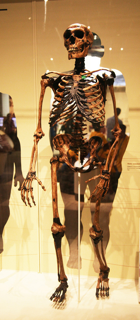 A skeleton model of an adult male Neanderthal at the Smithsonian Museum of Natural History in Washington D.C. Research reveals that Neanderthal child brains take longer to develop which is indicative of having more sophisticated brains and greater similarity to humans than previously thought.  (credit: Tim Evanson via Flickr Creative Commons)