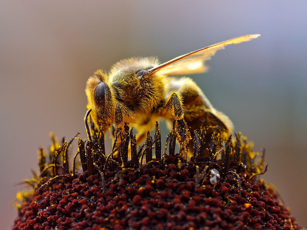 Honey bees are vital to the pollination of plants without which food production would be severely hampered. Scientists in Europe recently discovered traces of pesticide in three-fourths of the world's honey which could negatively affect bee population. (credit: Jon Sullivan via Wikimedia Commons)