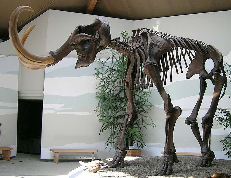 The skeleton of a wooly mammoth at a German museum. Scientists are trying to revive the species which raises an ethical debate. (credit: Courtesy of Lou.gruber via Wikimedia Commons)