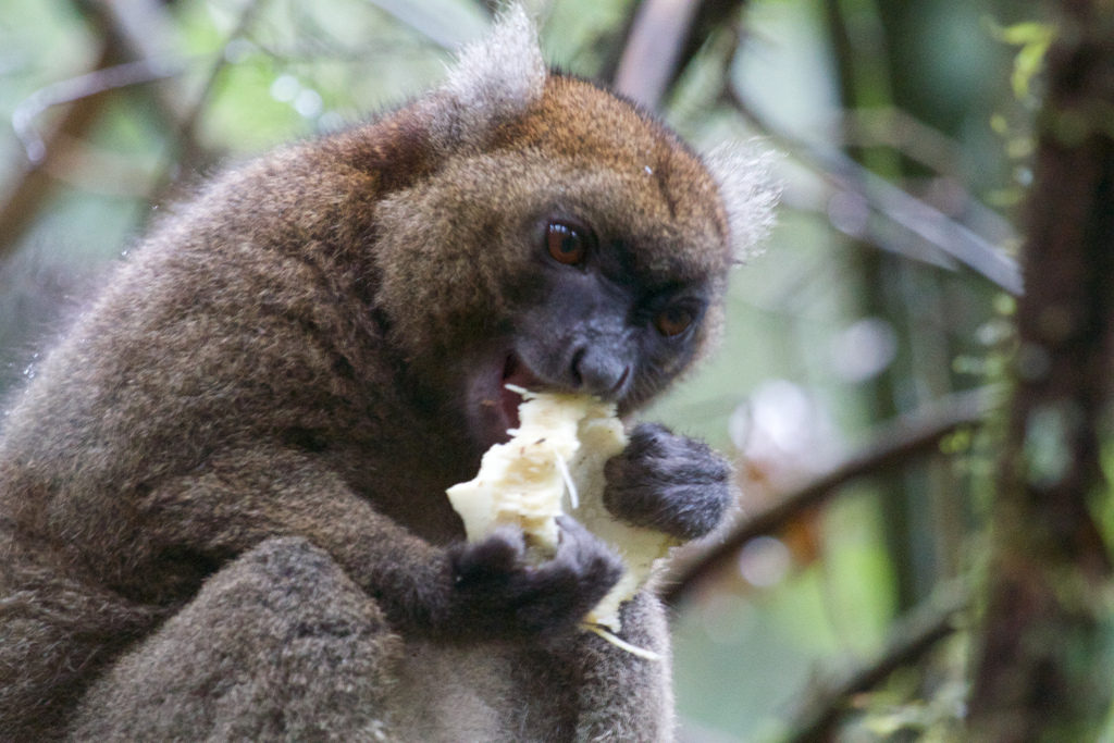 The larger bamboo lemur eating a bamboo shoot. This endangered species is at greater risk of extinction as climate change forces them to rely on less woody, dry and less nutritious bamboo.  (credit: Courtesy of Brian Gratwicke via Flickr Commons)