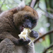 The larger bamboo lemur eating a bamboo shoot. This endangered species is at greater risk of extinction as climate change forces them to rely on less woody, dry and less nutritious bamboo.