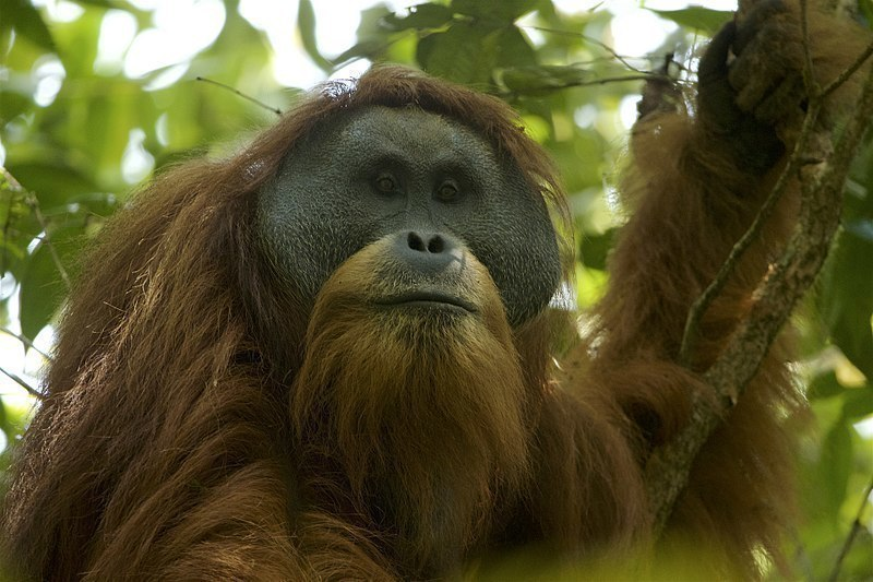 Recently, scientists discovered a new species of orangutan, now called Pongo tapanuliensis. This species is critically endangered and only 800 such animals exist in the world at the moment.  (credit: Courtesy of Tim Laman via Wikimedia Creative Commons)