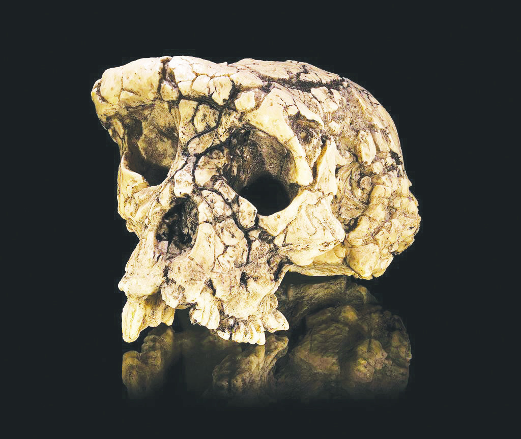 Courtesy of Didier Descouens via Wikimedia Commons Replica of the skull of the hominin specimen known as Toumaï. Toumaï was discovered in Chad in 2001 by French anthropologists.  (credit: Courtesy of Didier Descouens via Wikimedia Commons)