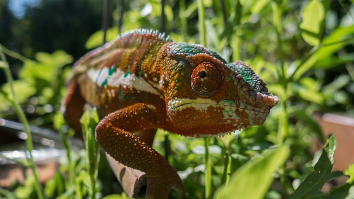 Scientists have discovered that many any chameleons have fluorescent bumps on their heads that glow under ultraviolet light. This is the result of naturally flourescent bone, and is invisible to human eyes.  (credit: pxhere Creative Commons)