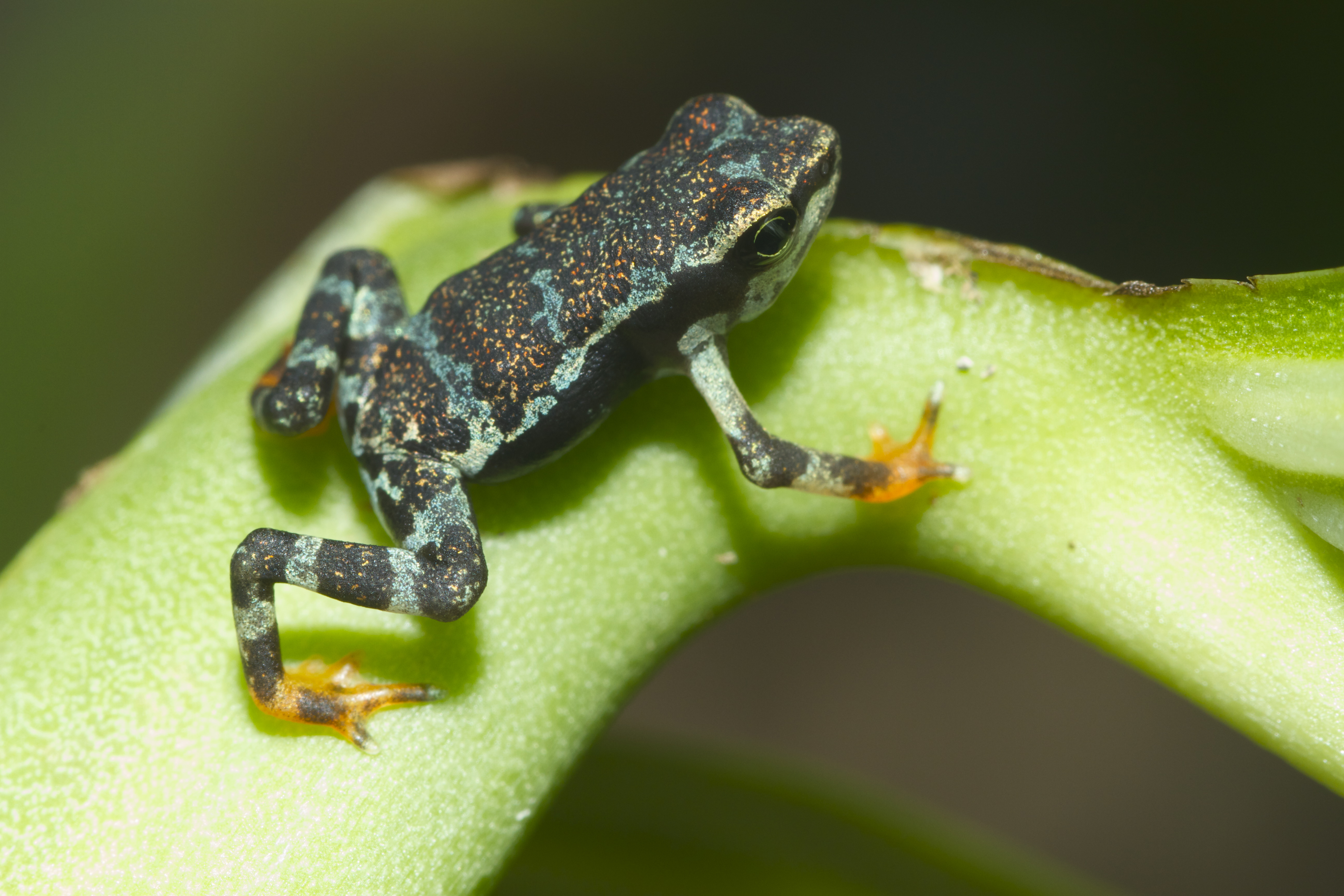 A juvenile Pirre harlequin frog. Some types of harlequin frog are extinct in the wild, thanks in part to a fungus called *Batrachochytrium dendrobatitis* that has ravaged wild populations throughout Panama. (credit: Courtesy of Brian Gratwicke via Flickr)