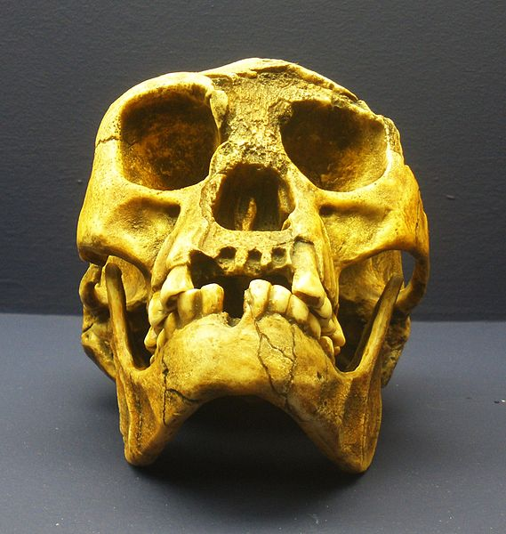 569px-homo_floresiensis_4